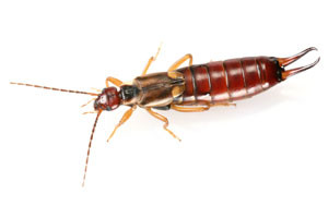 close up earwig