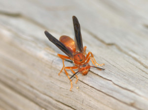 paper-wasp