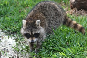 pest-id-raccoon