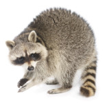Raccoon pest removal