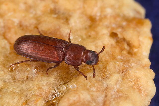 red-flour-beetle